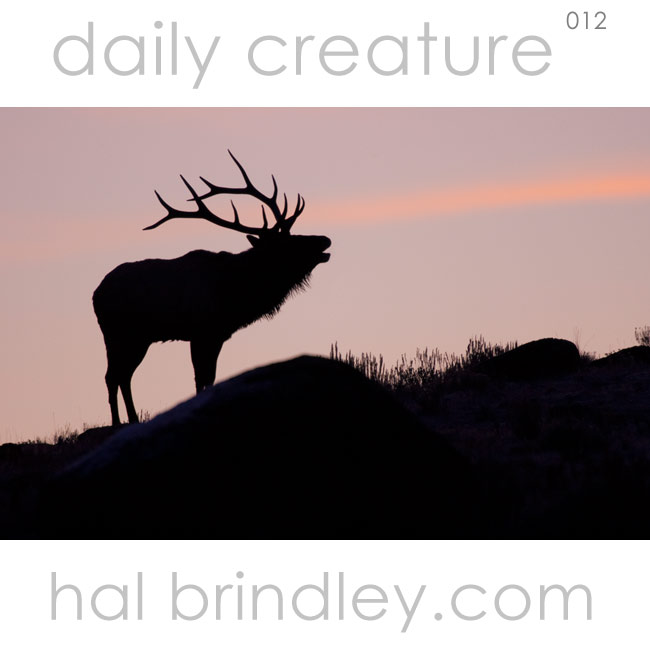 North American Elk. Daily Creature 12 by Hal Brindley