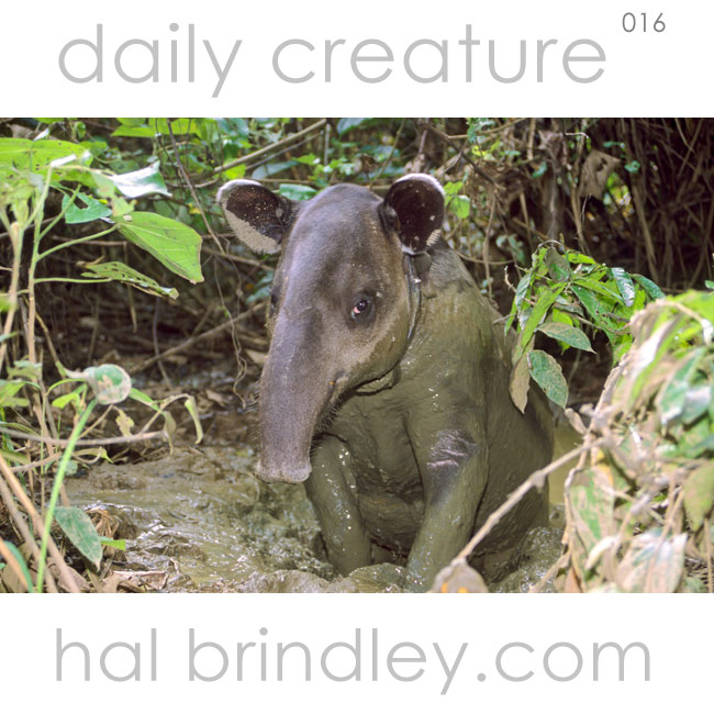 Baird's Tapir (Tapirus bairdii) wallowing in a mud pit in Corcovado National Park, Costa Rica. Photo by Hal Brindley.com