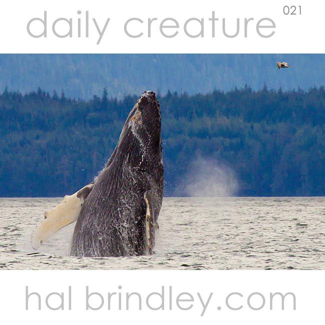 Humpback Whale (Megaptera novaeangliae) breaching in Queen Charlotte Strait, British Columbia, Canada