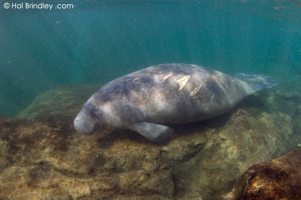 West Indian Manatee (Trichechus manatus) Crystal River NWR, Florida, USA