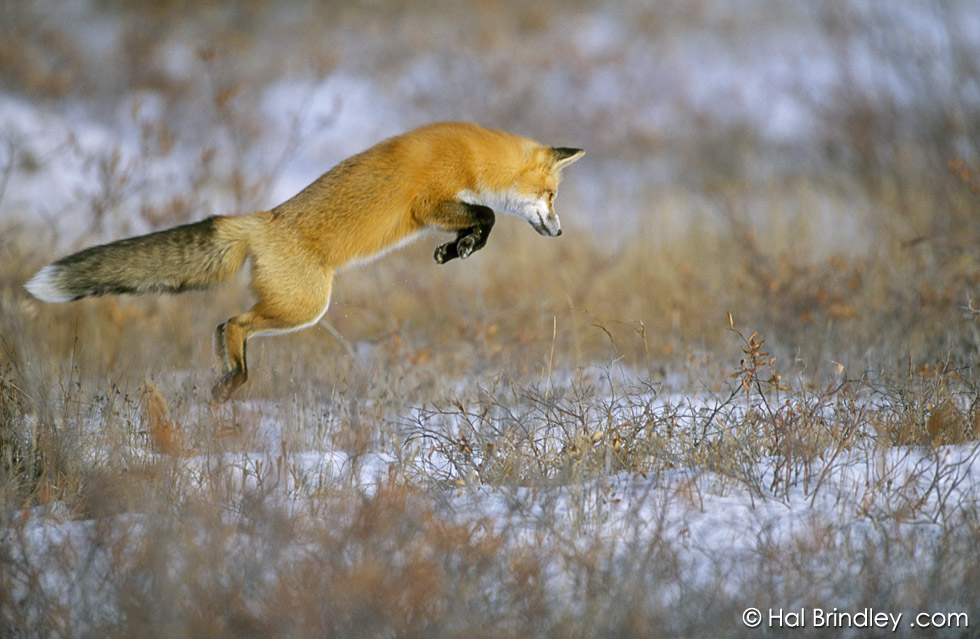 Red Fox hunting in the snow in Churchill Manitoba