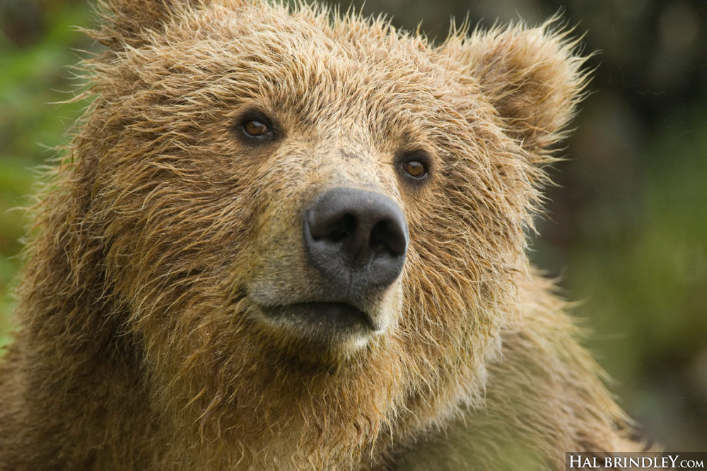 Grizzly Bear, McNeil River, Alaska. Photo by Hal Brindley