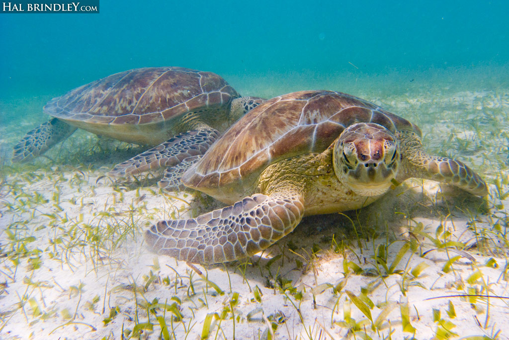 Green Sea Turtles (Chelonia mydas) eating sea grass in the Bay of Akumal in Mexico.