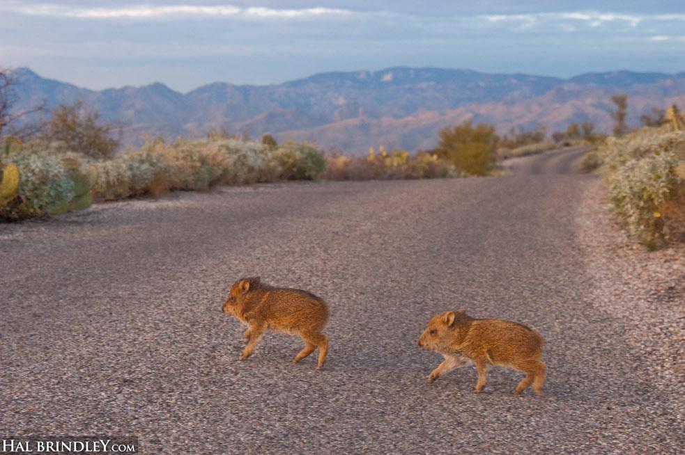 baby javelinas crossing road (Dicotyles tajacu) Sonora Desert near Tucson Arizona USA. Photo by Hal Brindley