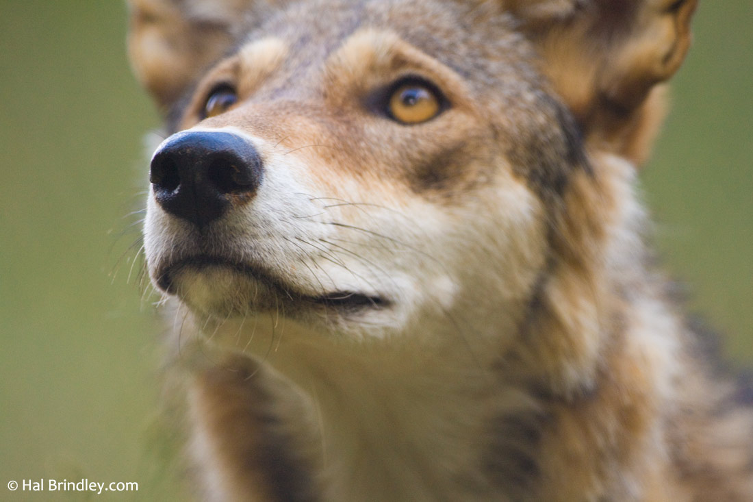Red Wolf at the WNC Nature Center in Asheville, North Carolina. Photo by Hal Brindley