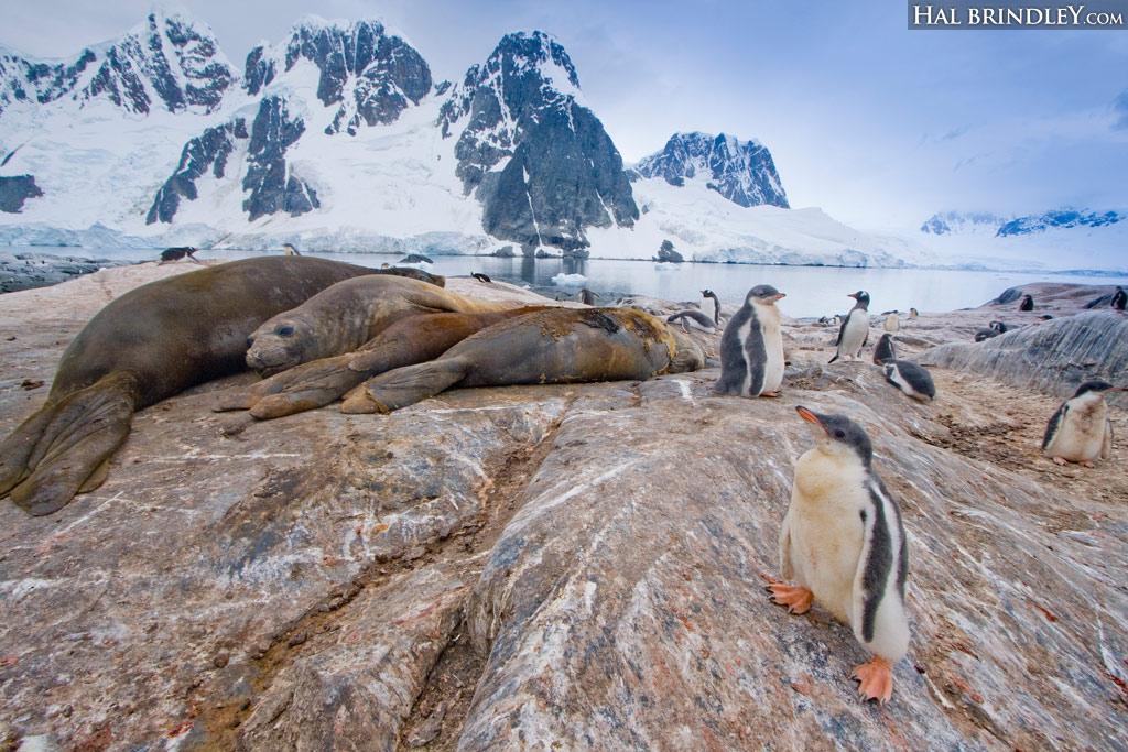 Southern Elephant Seal (Mirounga leonina) and Gentoo Penguin (Pygoscelis papua). Pleneau Island, Antarctic Peninsula, Antarctica. © Hal Brindley .com