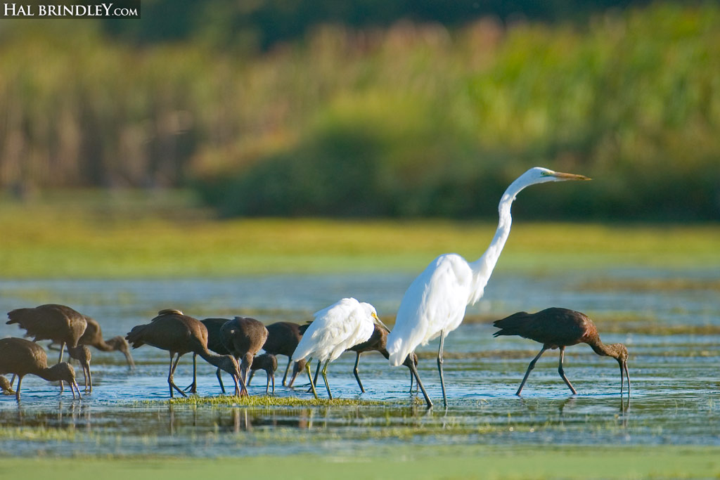 Great Egrets and Ibises on Hog Island, Virginia Coast Reserve (The Nature Conservancy)