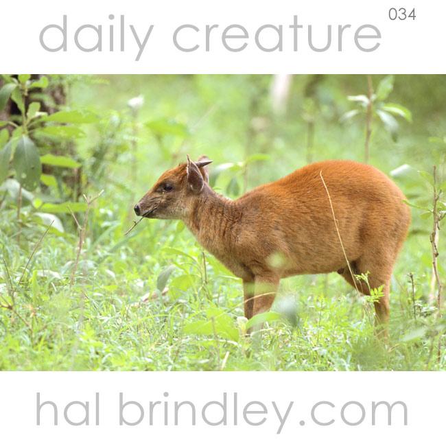 Natal Red Duiker (Cephalophus natalensis) Hluhluwe Game Reserve, South Africa. Photo by Hal Brindley