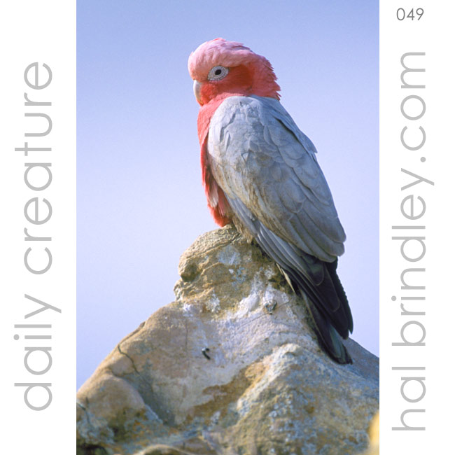 male Galah (Eolophus roseicapilla) Also known as the Rose-breasted Cockatoo perched on the Pinnacles in Nambung National Park, Western Australia. Photo by Hal Brindley