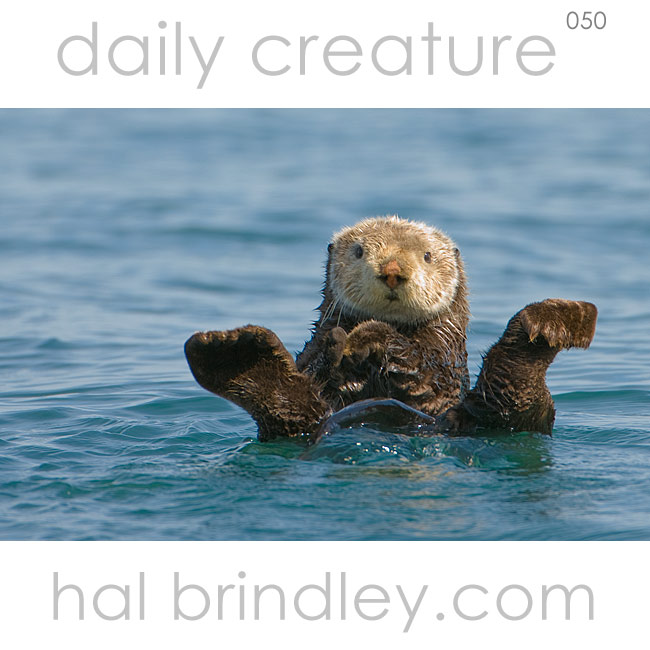Sea Otter (Enhydra lutris) grooming its fur in Kachemak Bay, Alaska, USA. Photo by Hal Brindley
