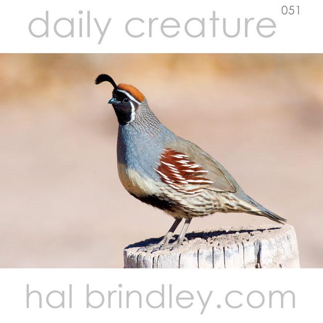 male Gambel's Quail (Callipepla gambelii) near San Antonio, New Mexico, USA. Photo by Hal Brindley