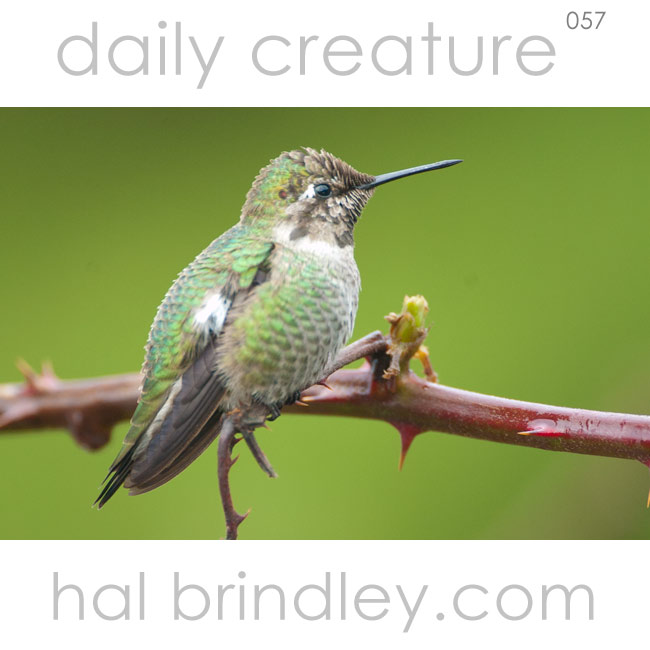 Anna's Hummingbird (Calypte anna) perched on a twig in Oceanside, Oregon, early January. Photo by Hal Brindley