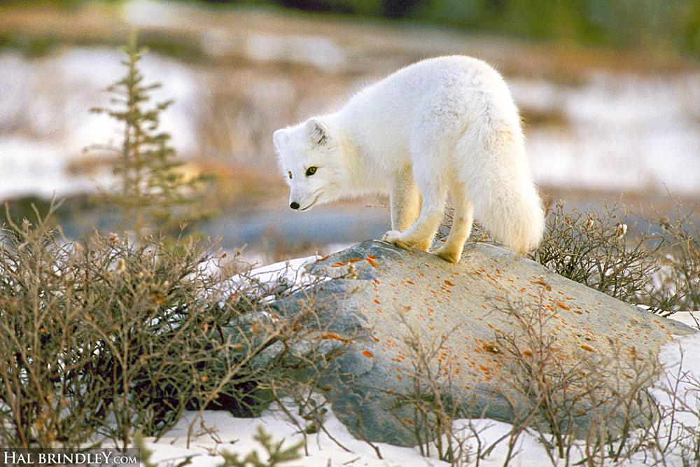 Arctic Fox in Churchill, Manitoba. Canada.