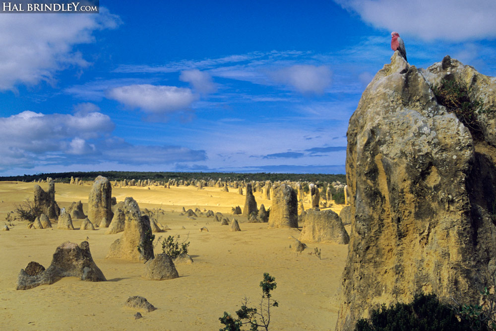 A male Galah, perched on the Pinnacle in Nambung National Park in Western Australia.