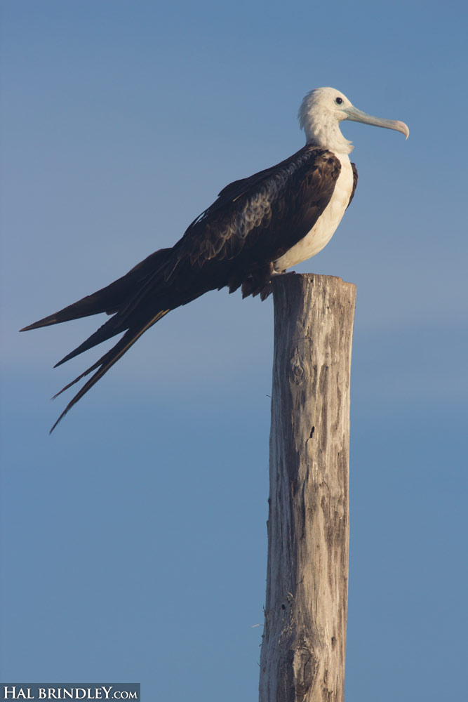 Immature Magnificent Frigatebird on a light pole is Isla Holbox, Mexico.