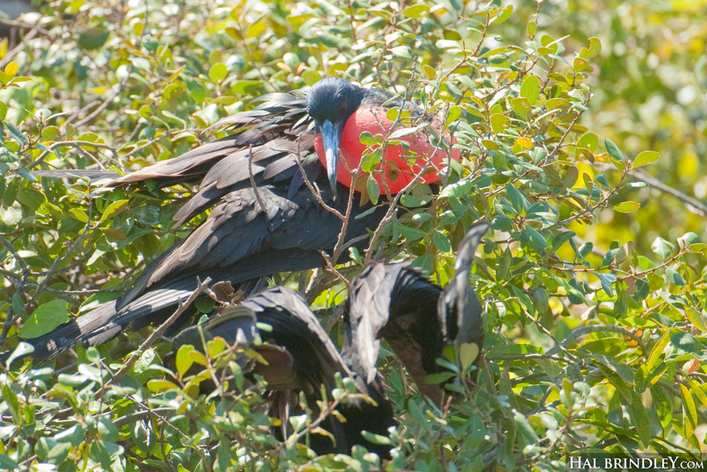 Magnificent Frigatebird in tree with inflated throat pouch. Half Moon Caye Nature Reserve, Lighthouse Reef, Belize © Hal Brindley