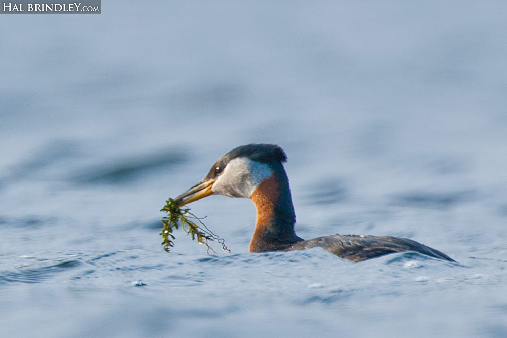 courtship display by red-necked grebe in Alaska
