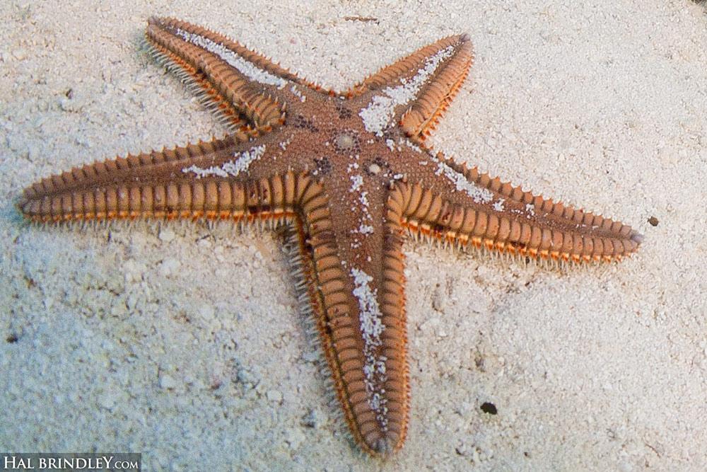 sea-star-dry-tortugas