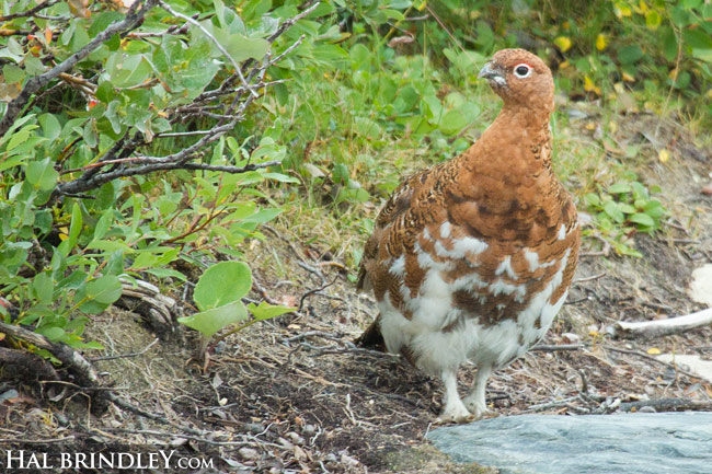 Male Willow Ptarmigan in summer plumage. Churchill, Manitoba, Canada.