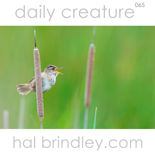 male Marsh Wren (Cistothorus palustris) singing from a cattail at Port Susan Bay Nature Conservancy Preserve in Washington, USA