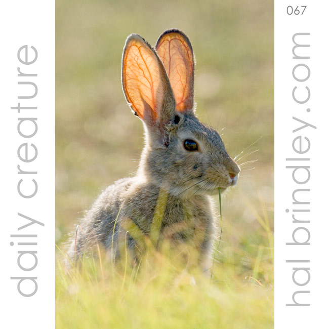 Desert Cottontail (Sylvilagus audubonii) Photographed in Red Fleet State Park, Utah. USA.