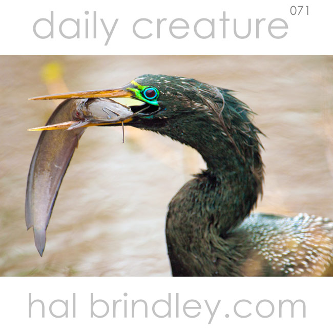 adult male Anhinga in breeding plumage with a fish in its bill. (Anhinga anhinga) Photographed on the Anhinga Trail in Everglades National Park, Florida, USA.