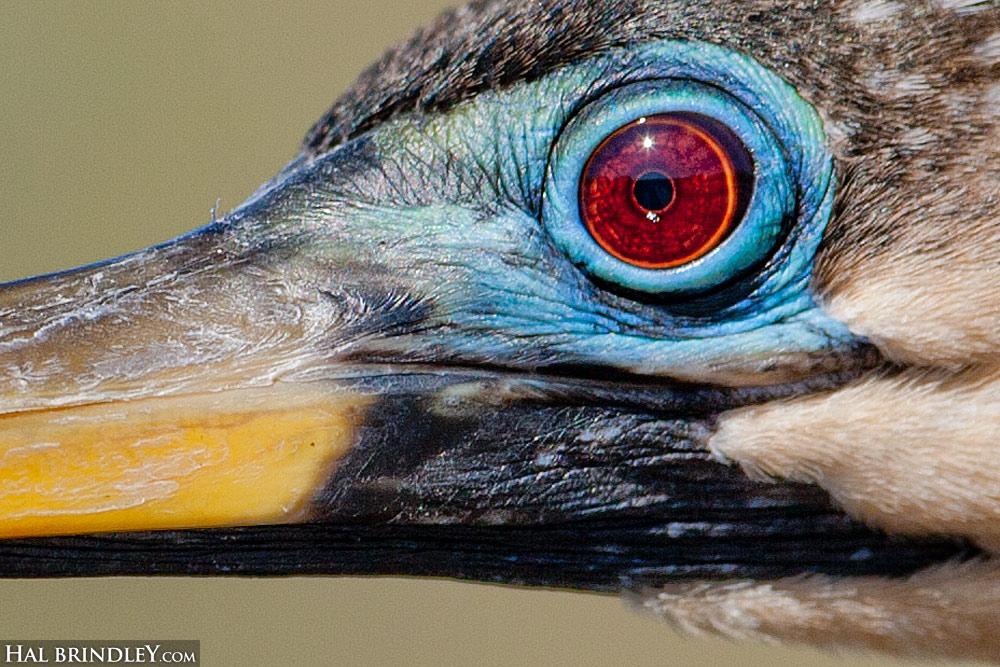 Close up of the eye of a female Anhinga in Breeding Plumage. Everglades, Florida, USA.