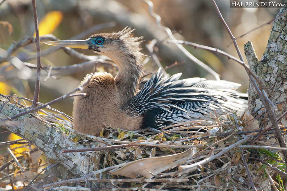 female Anhinga incubating eggs on a nest in Everglades National Park, Florida