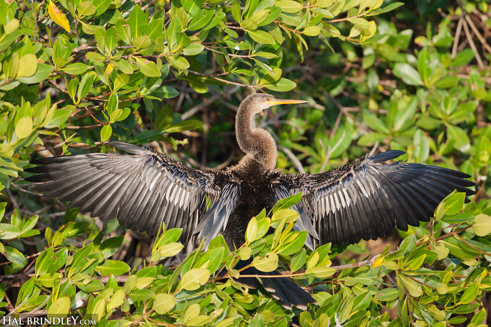 Female Anhinga in a mangrove tree drying her feathers after a swim. Ding Darling NWR, Sanibel, Florida
