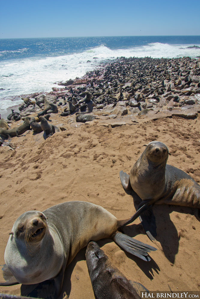 Cape Fur Seals at the Cape Cross Seal Reserve, Namibia.