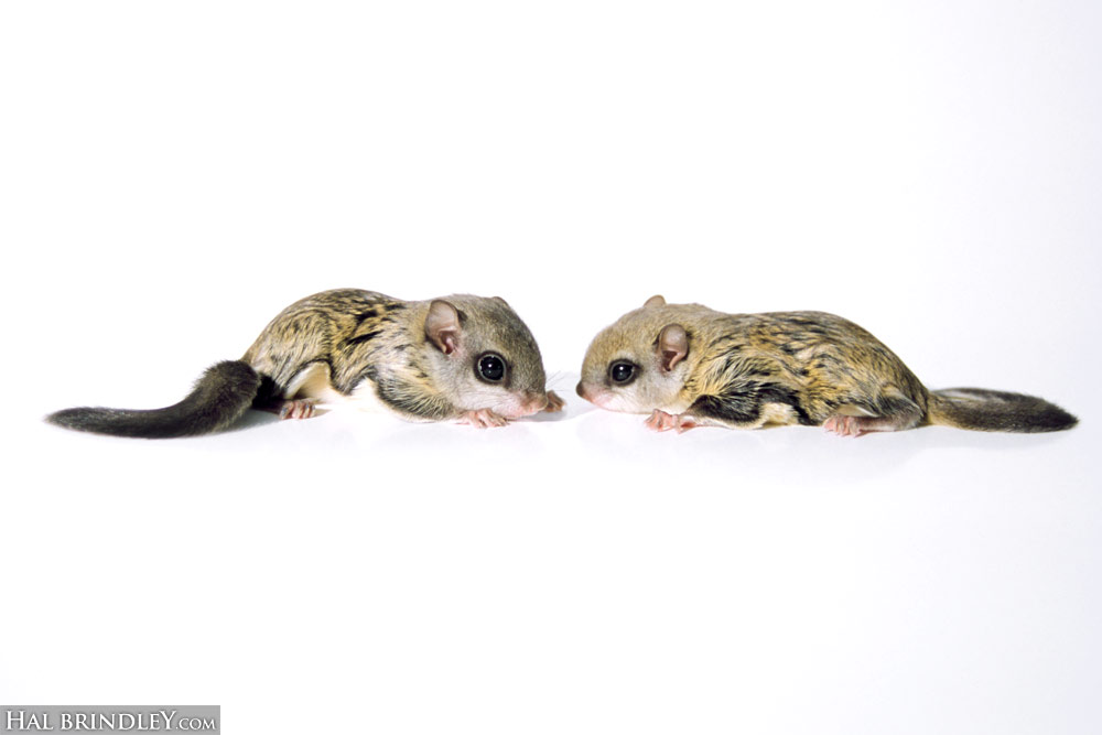 Juvenile Southern Flying Squirrels no background (Glaucomys volans) Chapel Hill, NC