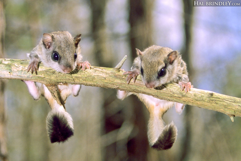 Juvenile Southern Flying Squirrels (Glaucomys volans) Mebane, North Carolina, USA.