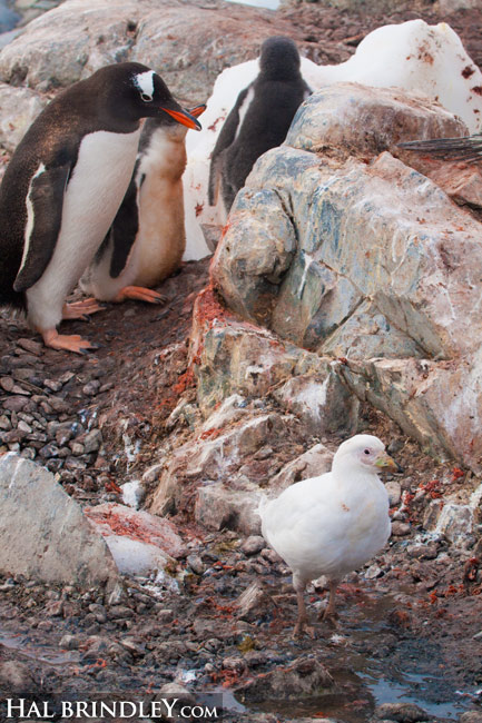 nowy Sheathbill (Chionis albus) feeding in Gentoo Penguin  colony (Pygoscelis papua). Chilean Base, Gonzalez Videla Station. Paradise Bay, Antarctic Peninsula. Antarctica. © Hal Brindley