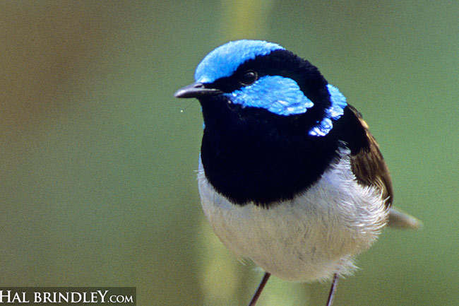 Superb Fairy-Wren (Malurus cyaneus) Photographed on Phillip Island, Victoria, Australia
