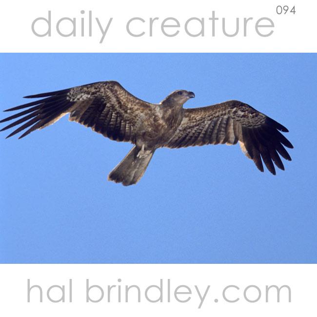 Whistling Kite flying (Haliastur (Milvus) sphenurus) Adelaide River, near Darwin, Northern Territory, Australia