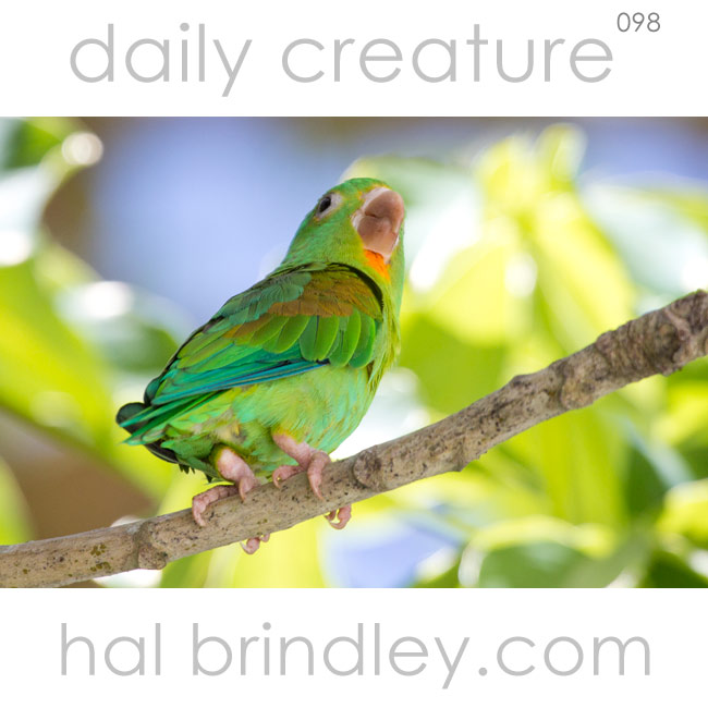 Orange-Chinned Parakeet (Brotogeris jugularis) Photographed next to Iguana Lodge, Puerto Jimenez, Osa Peninsula, Costa Rica.