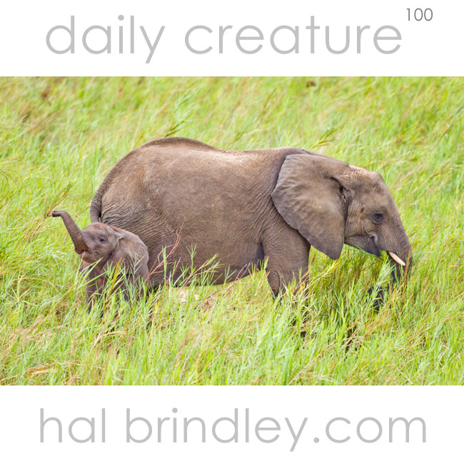 African Bush Elephant (Loxodonta africana) mother and calf in Kruger National Park, South Africa