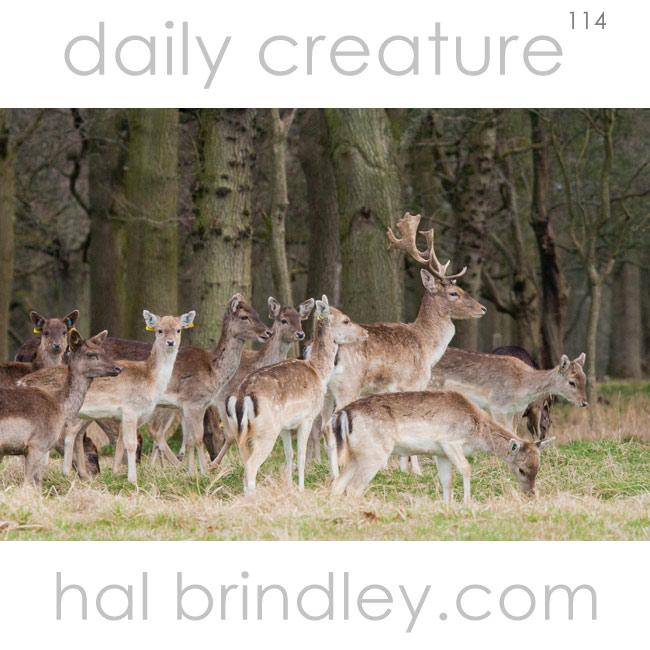 Fallow Deer (Dama dama) photographed in Phoenix Park, Dublin, Ireland.