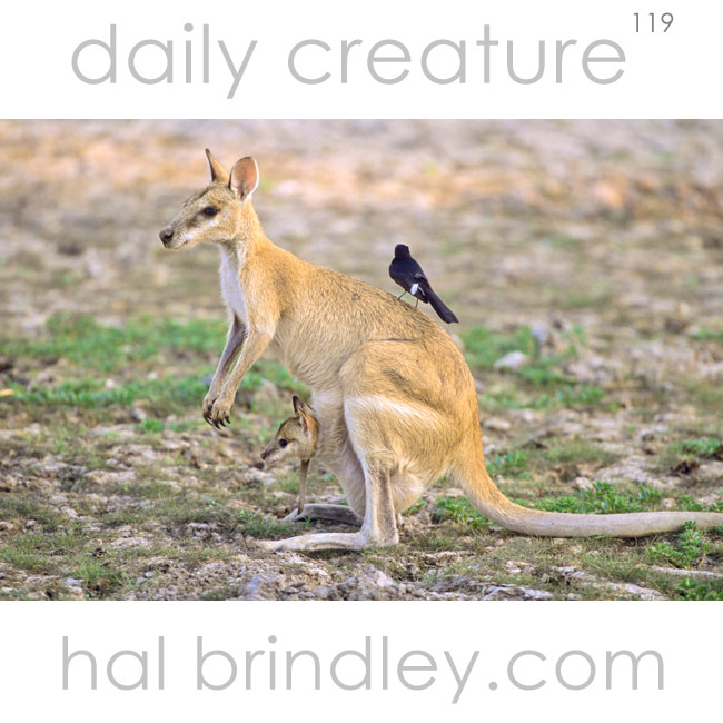 Agile Wallaby Macropus agilis with joey in pouch and bird on back. Kakadu National Park, Northern Territory, Australia.