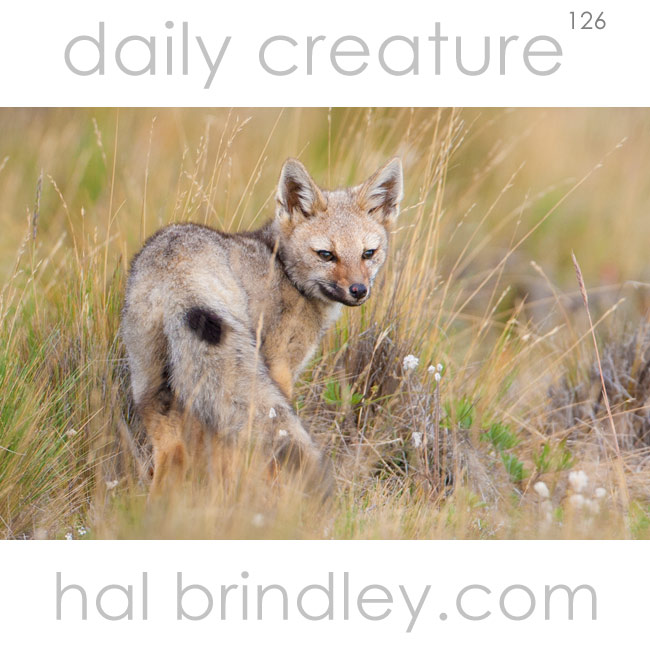Chilla (aka South American Gray Fox) (Lycalopex griseus) photographed in Tierra del Fuego, Chile.