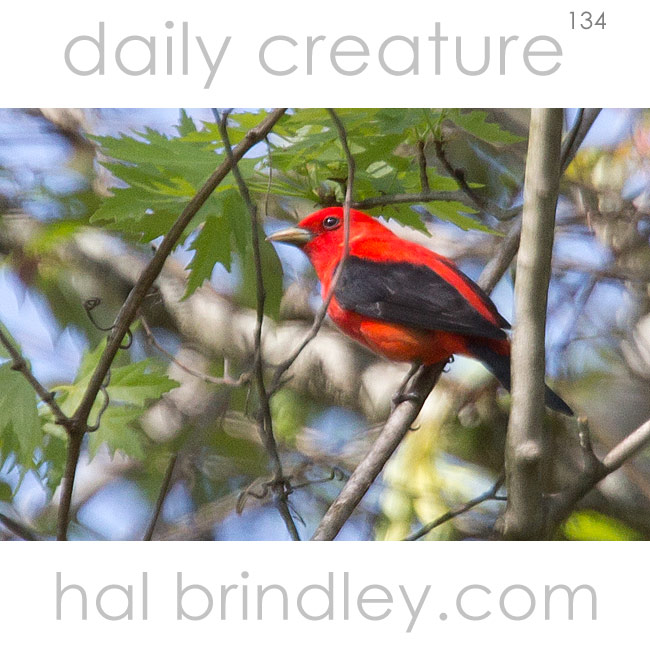 Daily Creature 134 Scarlet Tanager Hal Brindley