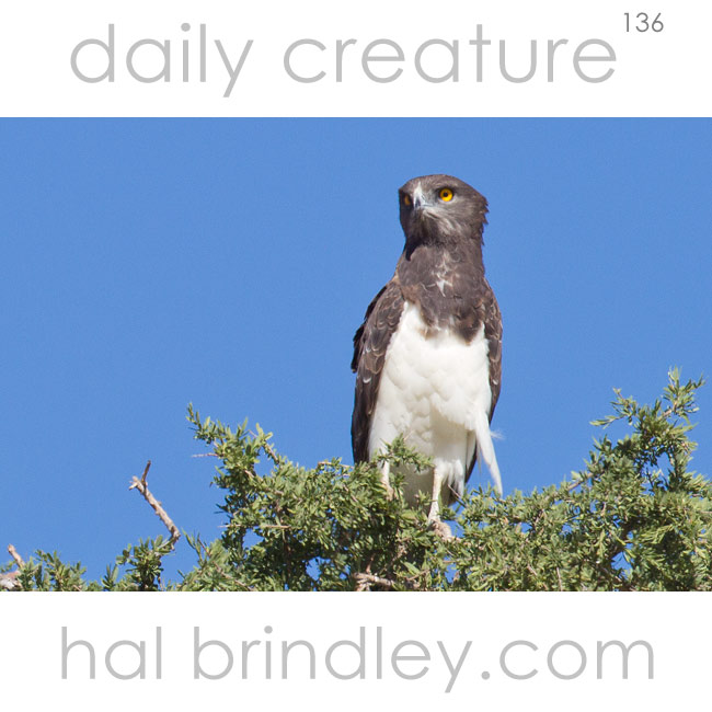 Black-chested Snake Eagle (Circaetus pectoralis) photographed in Kgalagadi Transfrontier Park, South Africa.