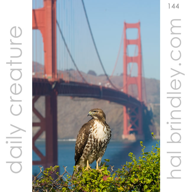 Red-Tailed Hawk (Buteo jamaicensis) photographed next to the Golden Gate Bridge in San Francisco, California, USA.