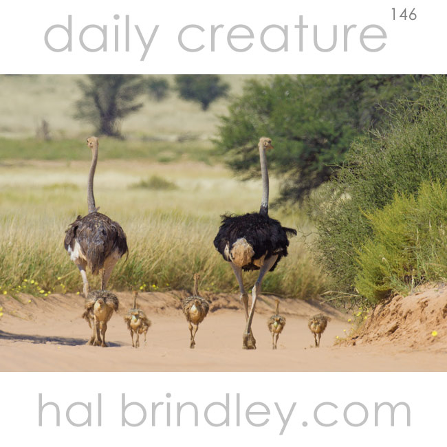 Ostrich family (Struthio camelus) male, female, and young, photographed in Kgalagadi Transfrontier Park, Kalahari Desert, South Africa.