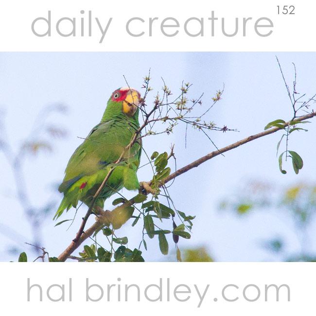White-fronted Amazon (Amazona albifrons) parrot. Calakmul Biosphere Reserve, Yucatan Peninsula, Mexico.