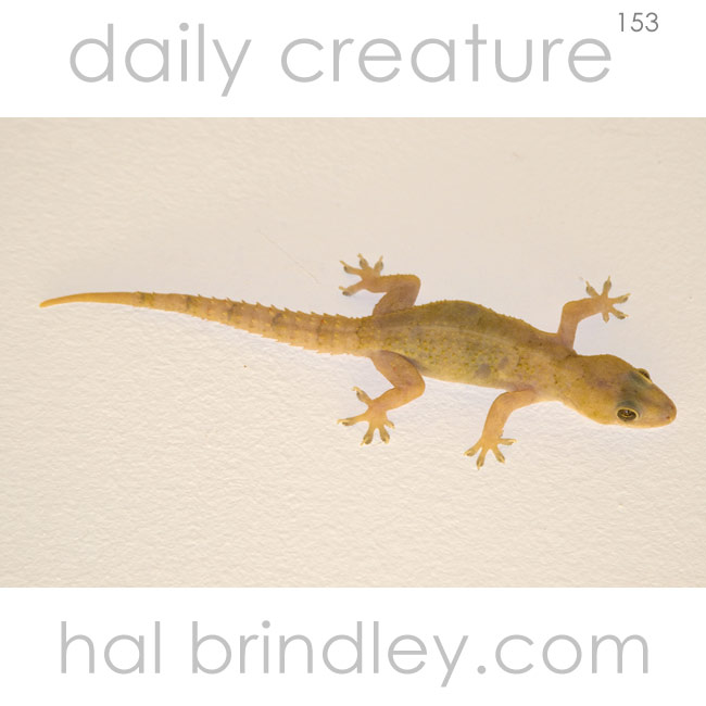 Common House Gecko (Hemidactylus frenatus) near Mkuze, KwaZulu Natal, South Africa.