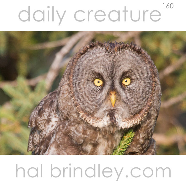 Great Gray Owl (Strix nebulosa) photographed in Duck Mountain Provincial Park, Manitoba, Canada.