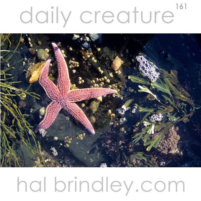 Common Sea Star (Starfish) (Asterias rubens) in Acadia National Park, Schoodic Peninsula, Maine, USA