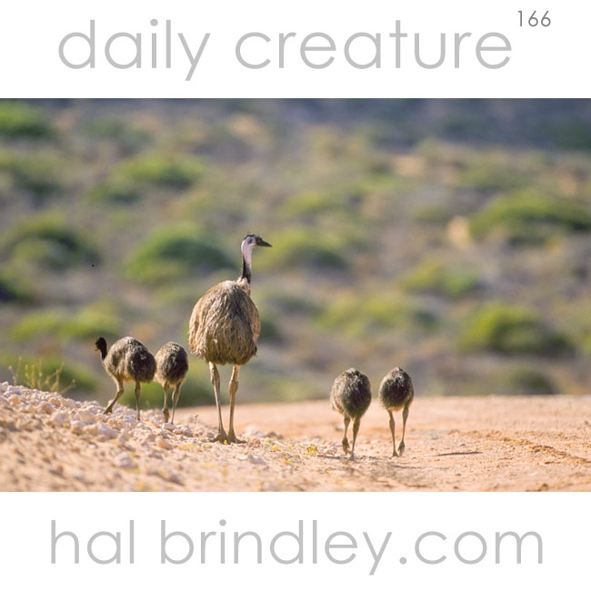 male Emu and juveniles (Dromias novaehollandiae) near Nanga, Shark Bay, Western Australia