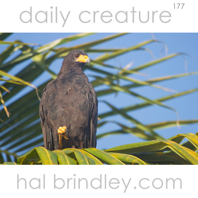 Common Black Hawk (Buteogallus anthracinus) photographed ain palm tree on Holbox Island, Yucatan Peninsula, Mexico.